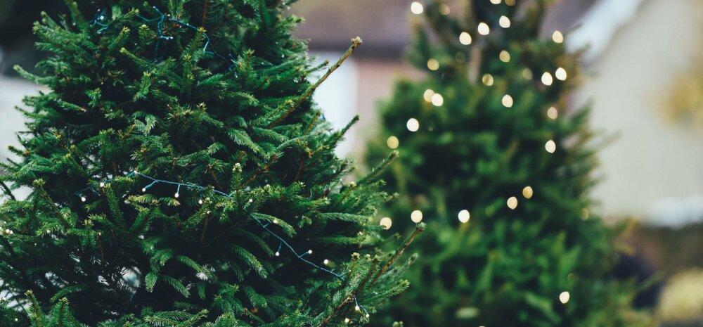 NÕUANDEID | Kuidas tuppa toodud kuuske ja jõulutaimi võimalikult kaua kauni ja värskena hoida?