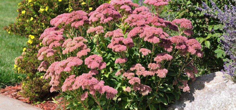 FOTOD │ Seitse värvikat taimepaari sügisesse aeda