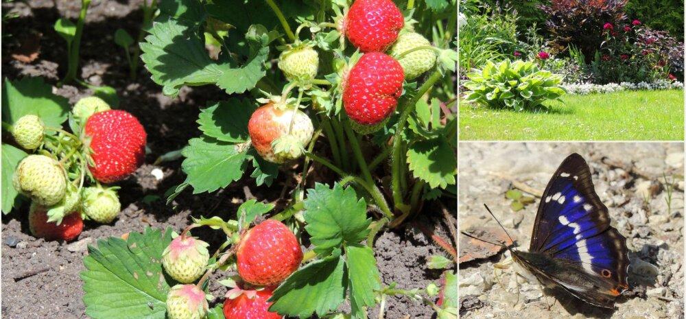 AIAHOOLIKU BLOGI | Imetabane kohtumine metsateel, õieteraapia ja metsik maasikasuvi