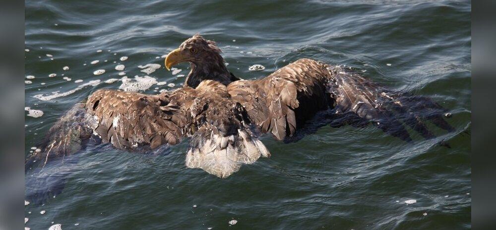 FOTOD: Armas lugu - Aegnal päästeti merikotkas kindlast surmast