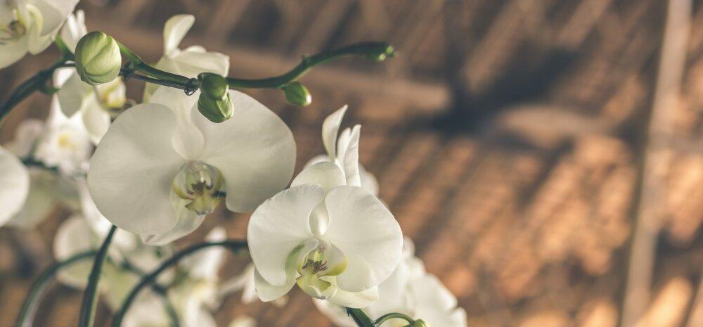 Nõuandeid, kuidas orhideesid õigesti hooldada ja neile mitte liiga teha