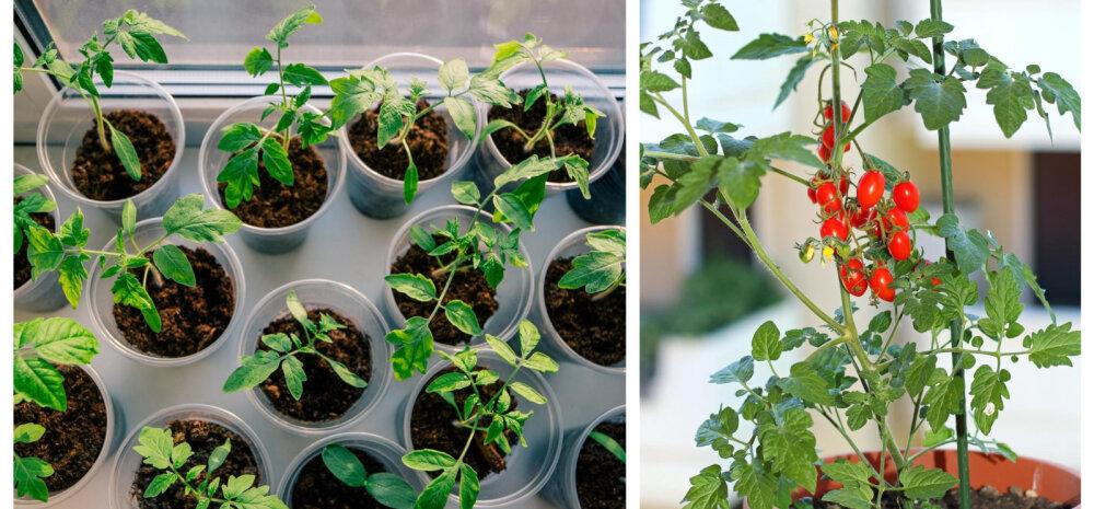 TASUB TEADA | Praegu on hea aeg hakata tomateid ette kasvatama