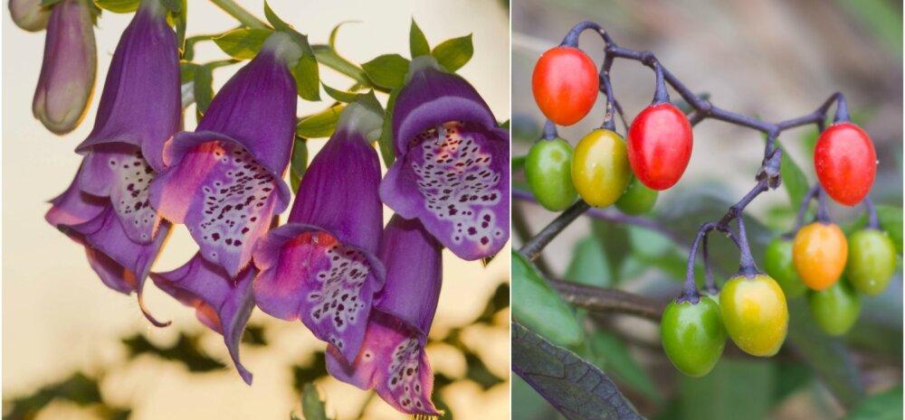TASUB TEADA │ Tunne oma aias kasvavaid mürgiseid taimi