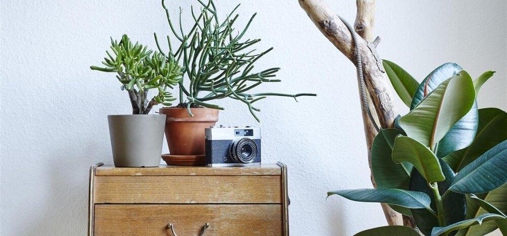 Häid nõuandeid, kuidas hingevaakuvat toataime uuesti elule turgutada