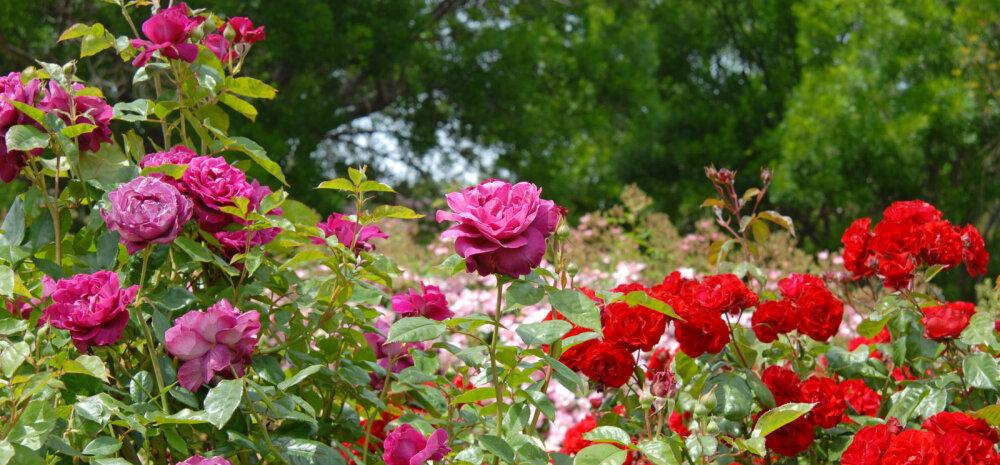 Kaunite rooside saladus — kuidas valida kasvukohta, istutada ja hooldada?