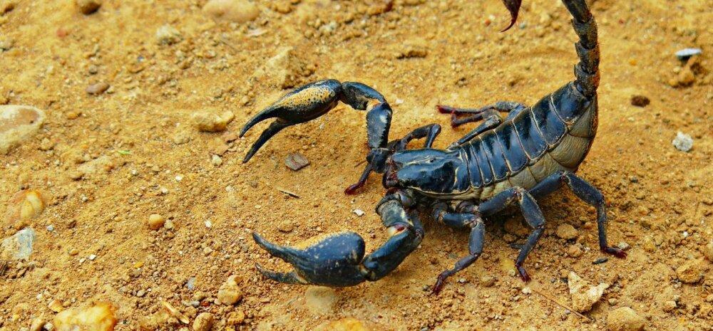 EKSOOTIKA | Skorpion: mida peaksid teadma, kui tahaksid pidada oma kodus skorpionit