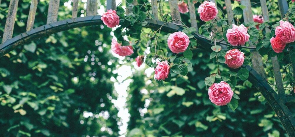 Rooside haigused ja kahjurid — kuidas ära tunda ja lahti saada