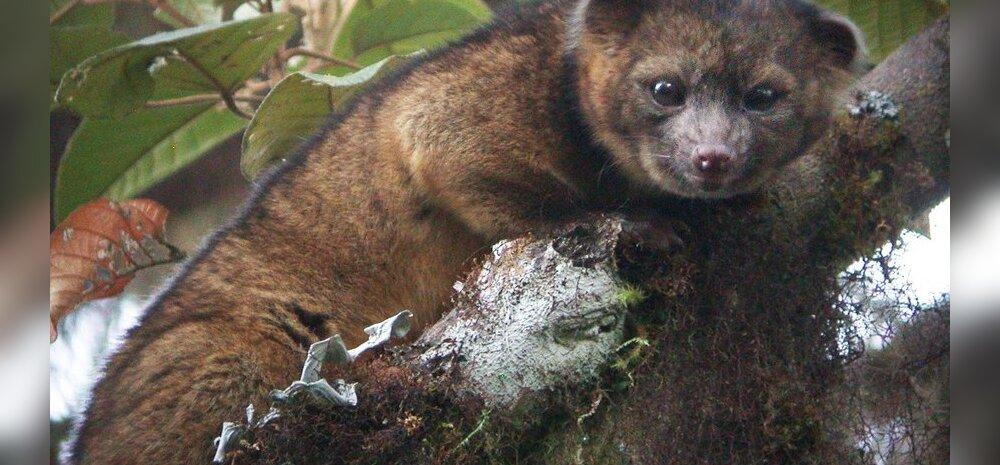 USA teadlased avastasid Lõuna-Ameerikas uue imetajaliigi