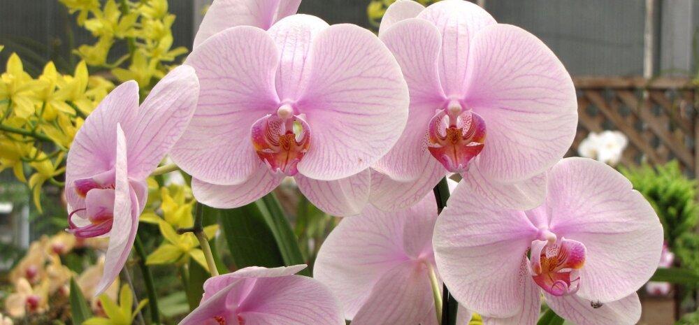 СОВЕТЫ │ Дома не цветет орхидея. Что делать?