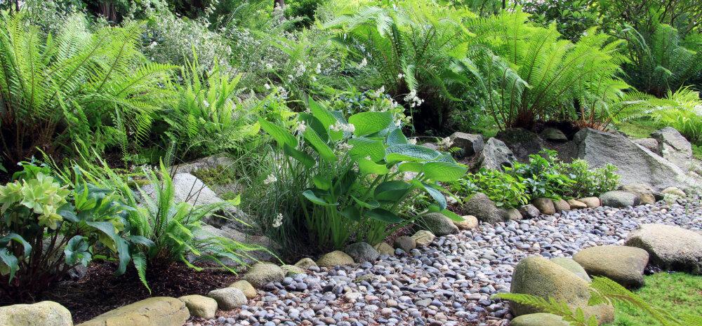 Kui päikest ei paista ehk milliseid taimi plaanida varjulisse aeda?