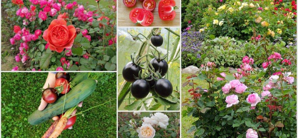 AIAHOOLIKU BLOGI | Kummaline tõbi, tomativaheraport ja rõõm südasuvistest õitsejatest