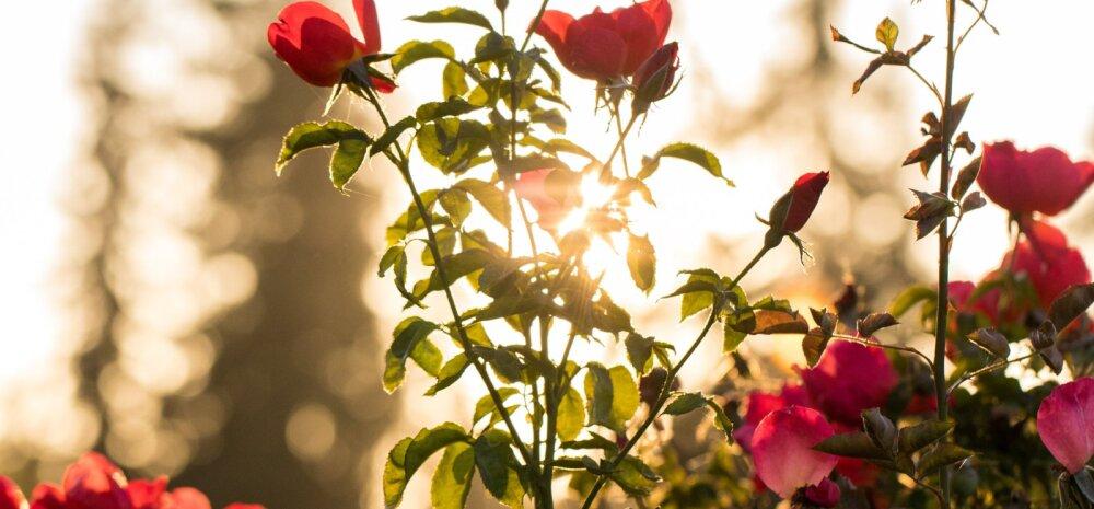 СОВЕТЫ │ Уход за розами в сентябре