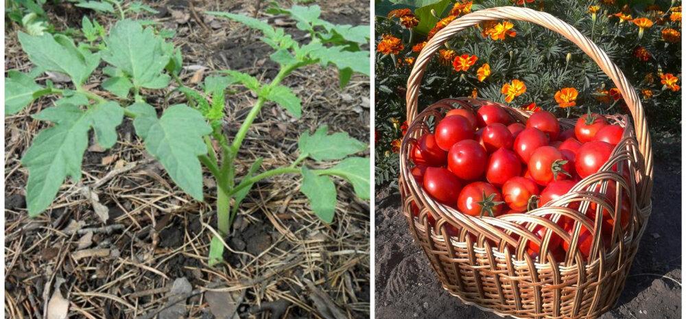 СОВЕТЫ │ Чем мульчировать помидоры в теплице