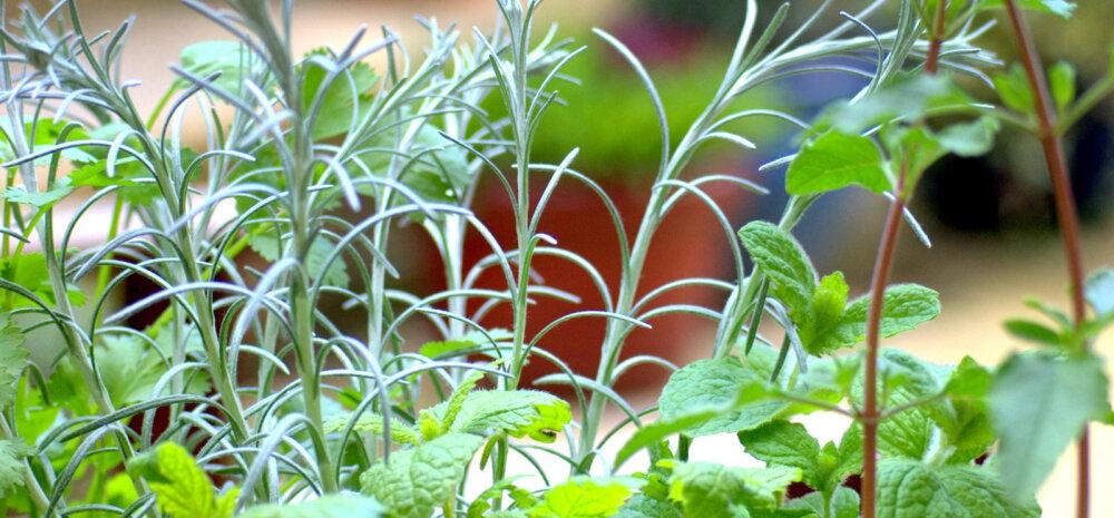 Vürtsid ja maitsetaimed annavad särtsu nii toidule kui tervisele: kasuta, säilita ja kasvata neid õigesti