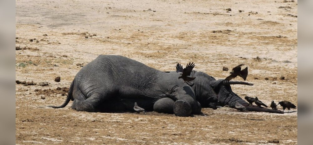Salakütid tapsid Aafrikas kolme aastaga 100 000 elevanti, ehk iga seitsmenda-kaheksanda