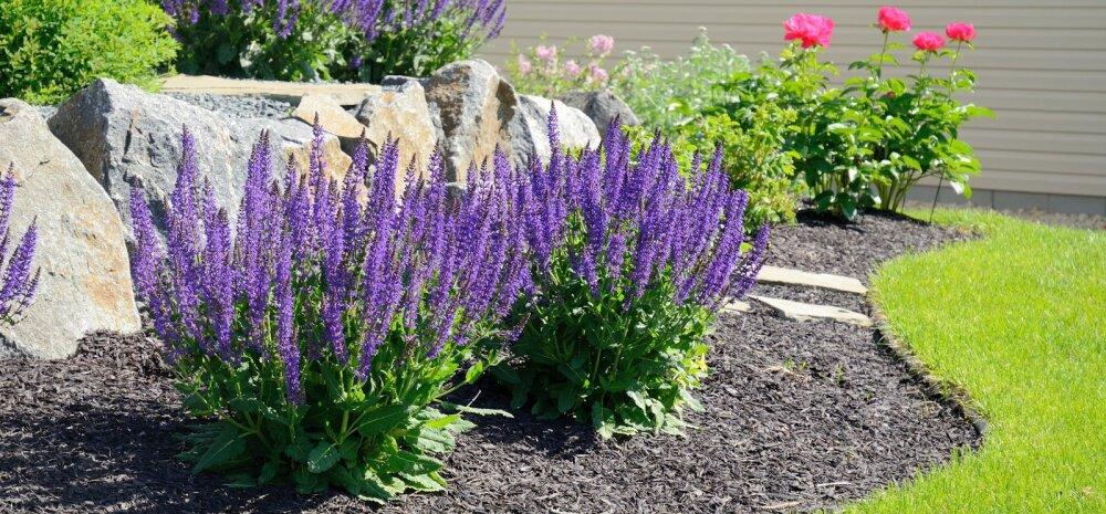 Multšimine aitab aias aega kokku hoida ja kahjuritega võidelda
