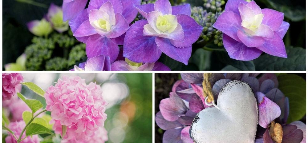 Пышные облака в саду — как выращивать гортензию и изменить ее цвет