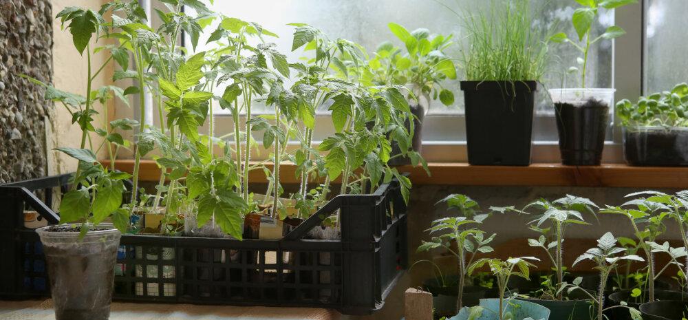 Как правильно вырастить рассаду помидоров и избежать большинства ошибок