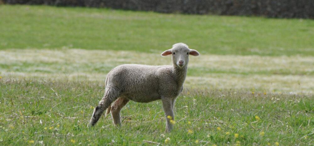 HITTVIDEO: 3 miljonit korda on vaadatud, kuidas see põngerjas oma lambaga ratsutab