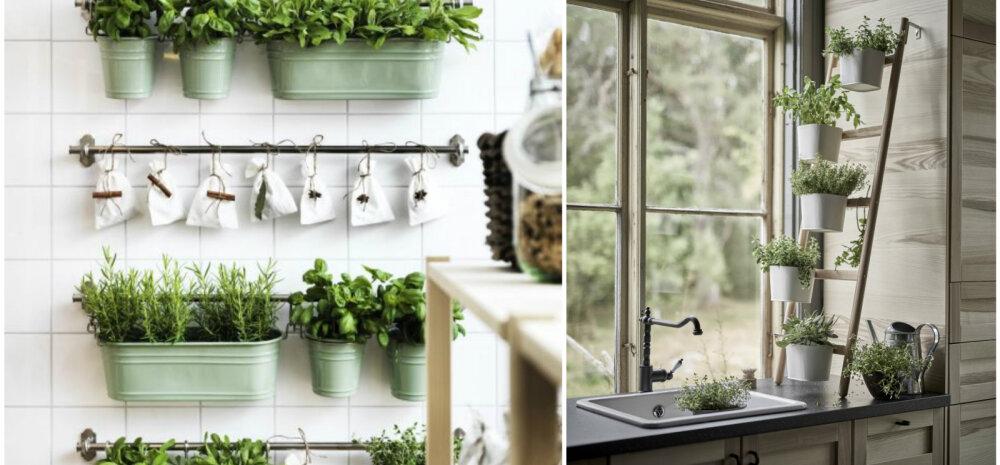 Seitse maitsetaime, mida tasub aknalaual kasvatada