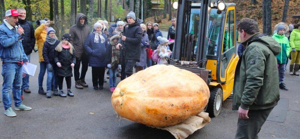 ФОТО | Рекорд в Латвии — самая тяжелая тыква весит 574 кг