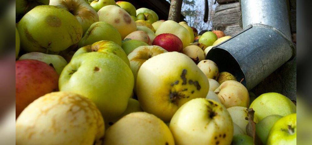 Torust tuli palju õuna