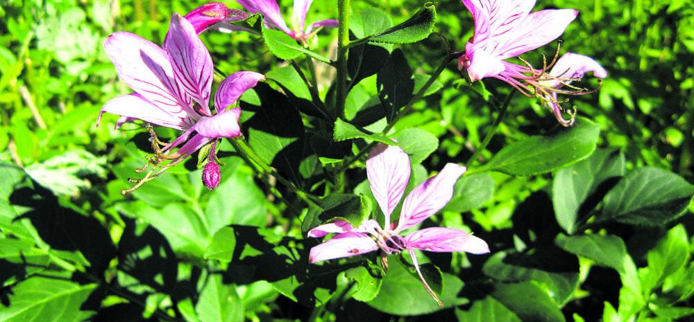 Taimi püha Hildegardi aiast: moosesepõõsas, iisop ja salvei