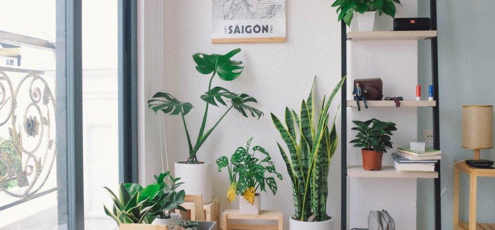Seitse vähenõudlikku toataime, mis sobivad igasse kodusse