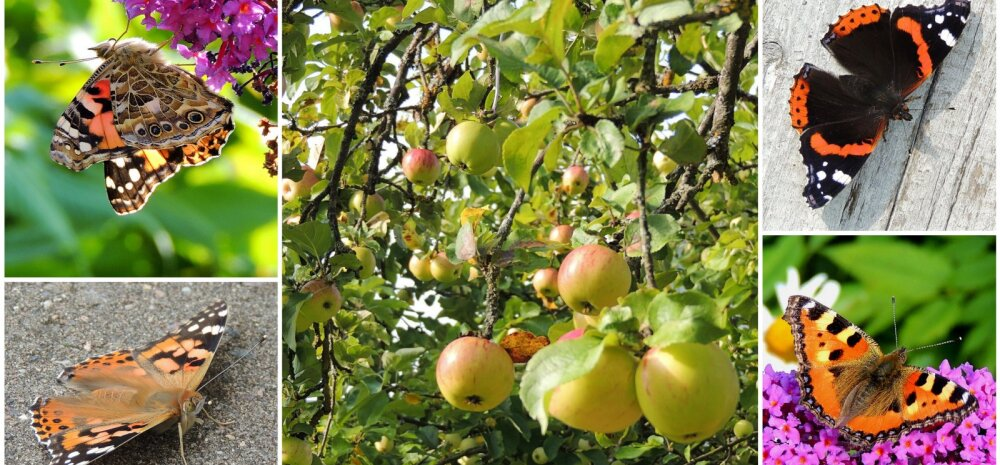 AIAHOOLIKU BLOGI | Lahendus õunauputusele ja liblikad on lõpuks ometi kohal