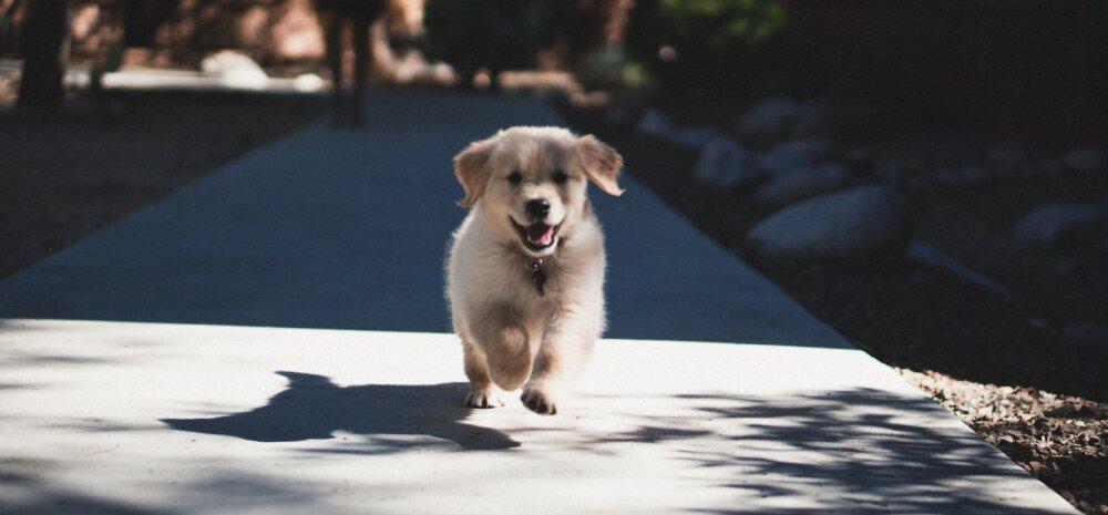 Kollase koera aasta on alanud! Tuletame meelde, mida looma-aasta märk sinu kohta paljastab ning mis on su tugevad ja nõrgad küljed