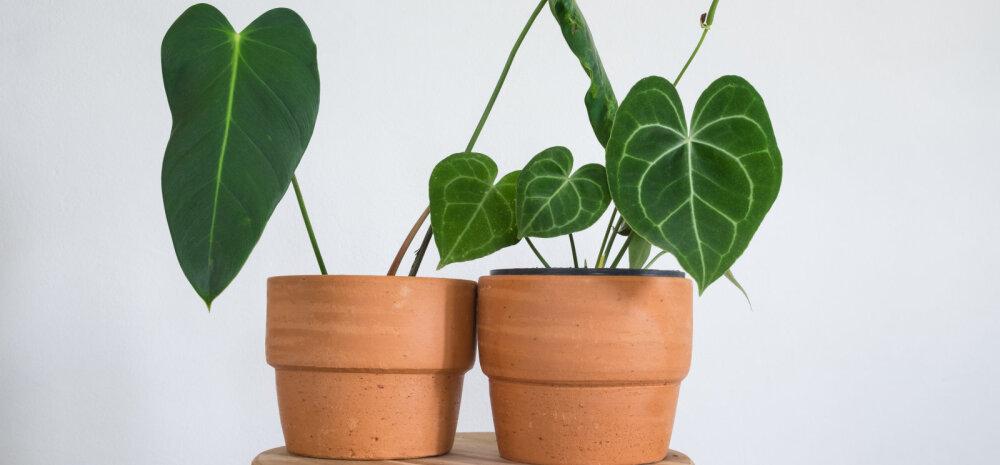 Счастливый цветок, или Комнатные растения, которые приносят достаток и здоровье