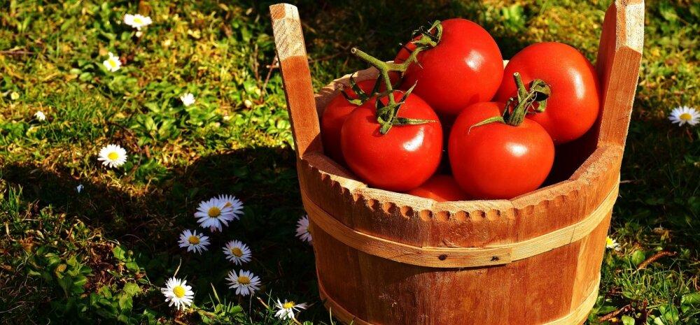 НА ЗАМЕТКУ | Уход за помидорами в сентябре