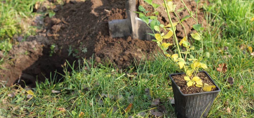 Taimed mulda — istutada võib hilissügiseni!