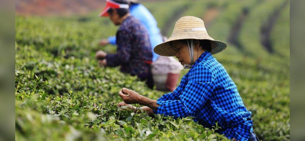 Hooaja algus Hiina teeistandustes