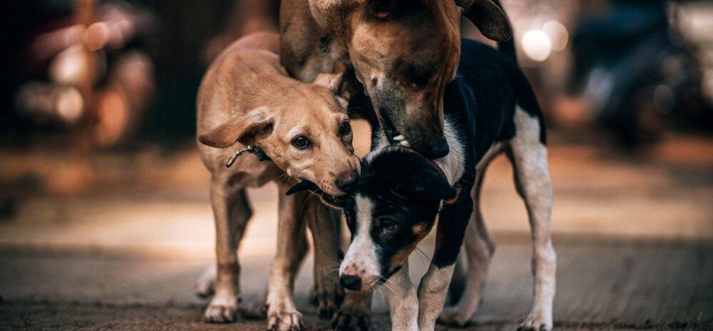 Kuus ohumärki, mis võivad viidata sellele, et koeral on kirbud