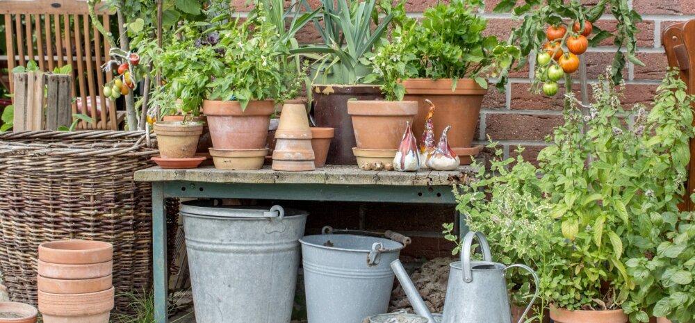 Kuus parimat aianippi algajale aednikule