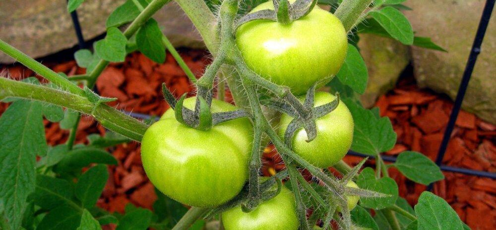 СОВЕТЫ │ Что делать с зелеными помидорами, или Какой фрукт поможет им дозреть