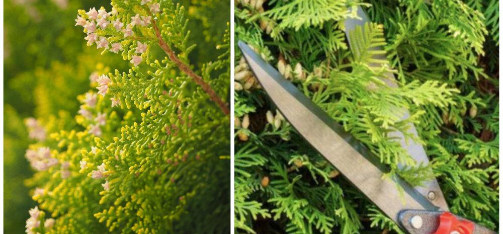 СОВЕТЫ │ Как осенью правильно производить обрезку туи
