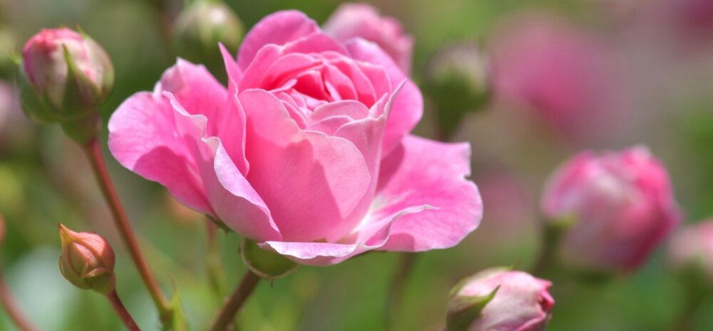 НА ЗАМЕТКУ | Как правильно обрезать розы