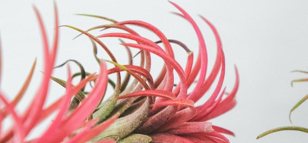 Поразительный элемент интерьера: воздушные растения