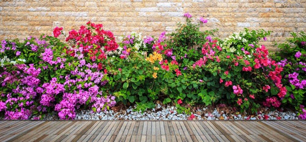 NÕUANDEID | Kuidas rajada aeda pilkupüüdev püsilillepeenar