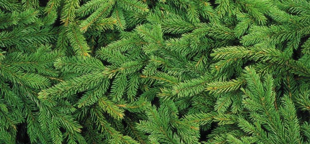 Полная утилизация! 6 гениальных идей использования оставшейся от новогодней елки хвои
