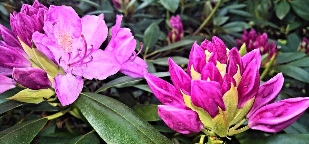 Царь кустарников — рододендрон. В первый год не давайте кустарникам цвести!