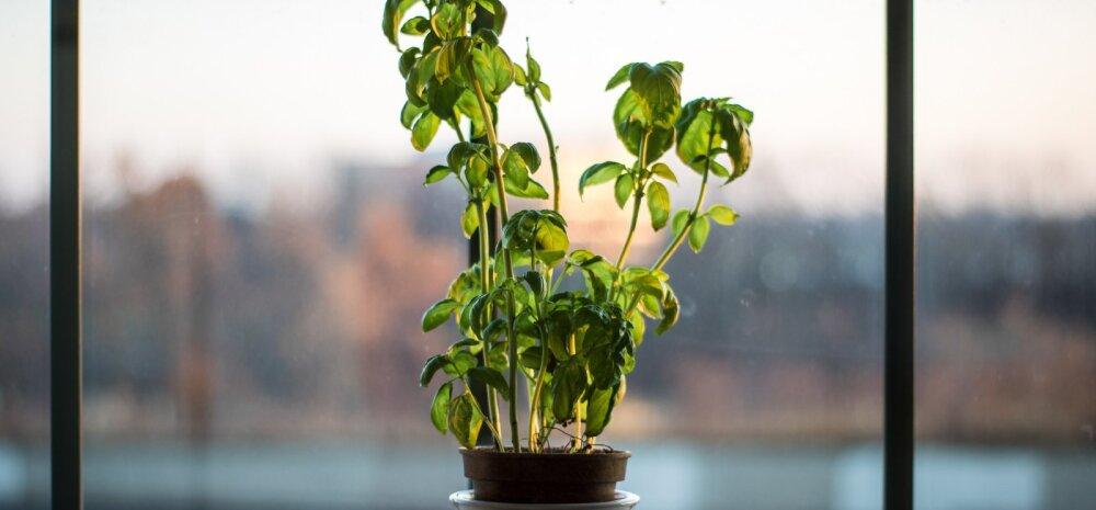 НАШ САД │ Выращиваем базилик на подоконнике