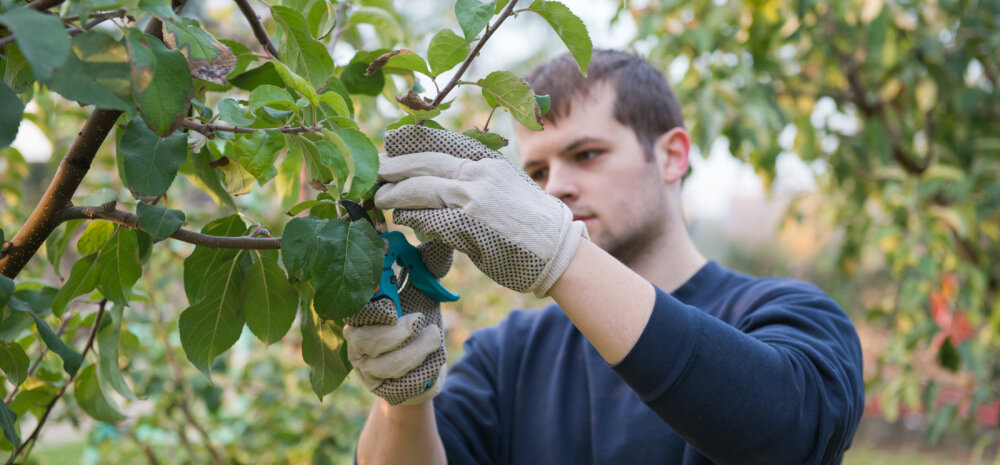 ВИДЕО: Как правильно обрезать яблоню весной, чтобы не удалить плодовые ветки