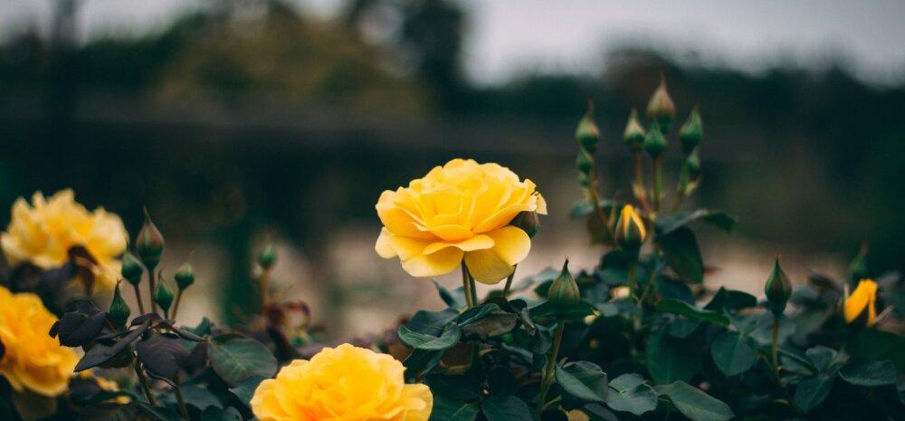Kuidas valida roosile õige kasvukoht ja mida pidada silmas istutamisel