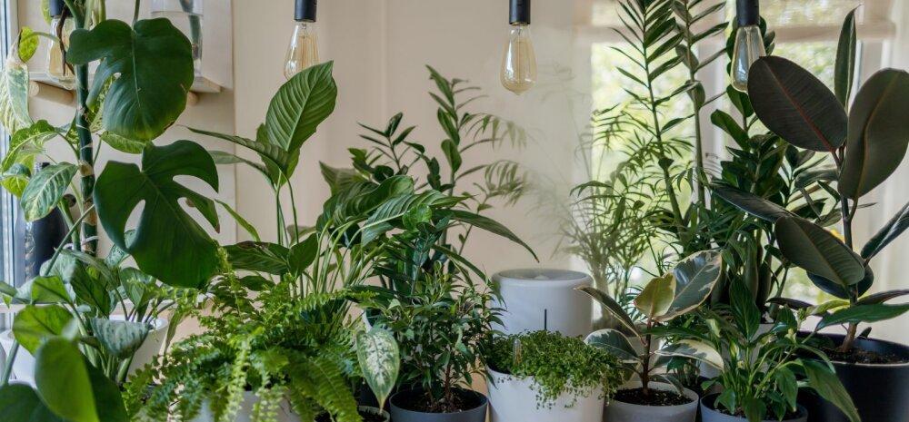 Toataimed, mis kasvavad hästi ka hämaras toas