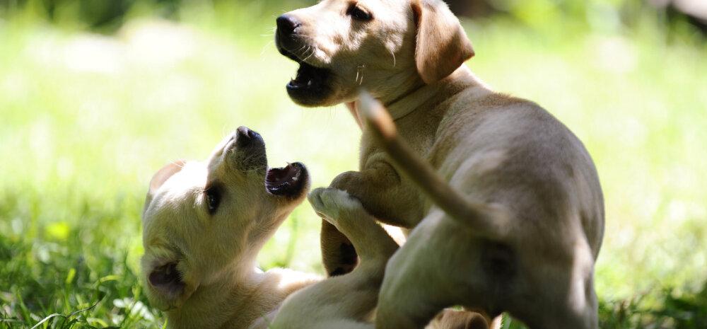 Lustakas VIDEO | Mõnikord juhtub, et ka loomad kinnitavad oma idee kaalukust käpa-, sõra- või kabjahoobiga