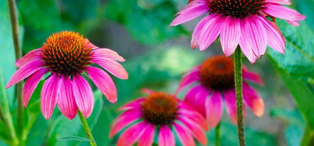 Цветущие садовые спартанцы: 10 многолетников, которые никогда не болеют