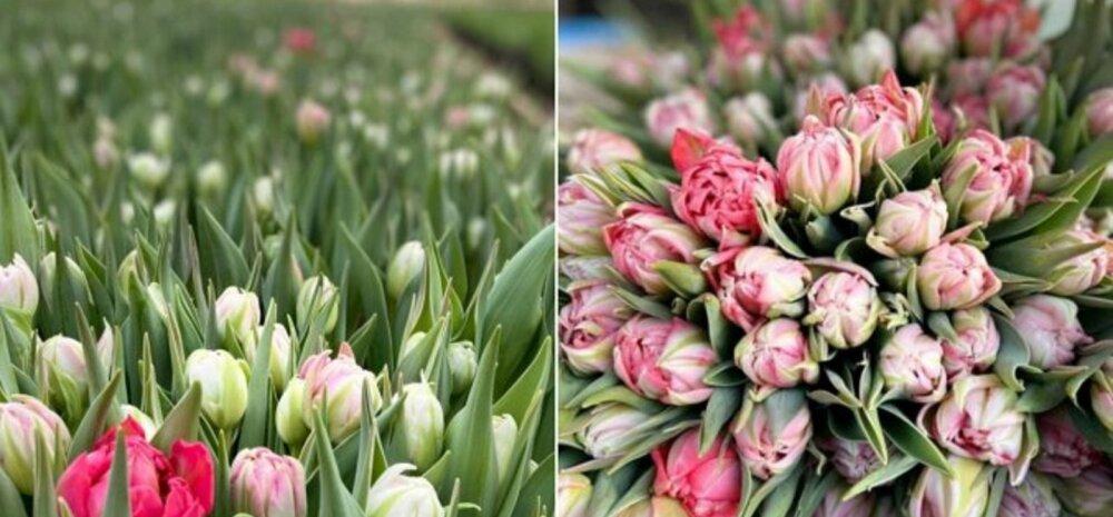 ФОТО | Тюльпановый рай: как в Сигулде цветут самые весенние из всех цветов